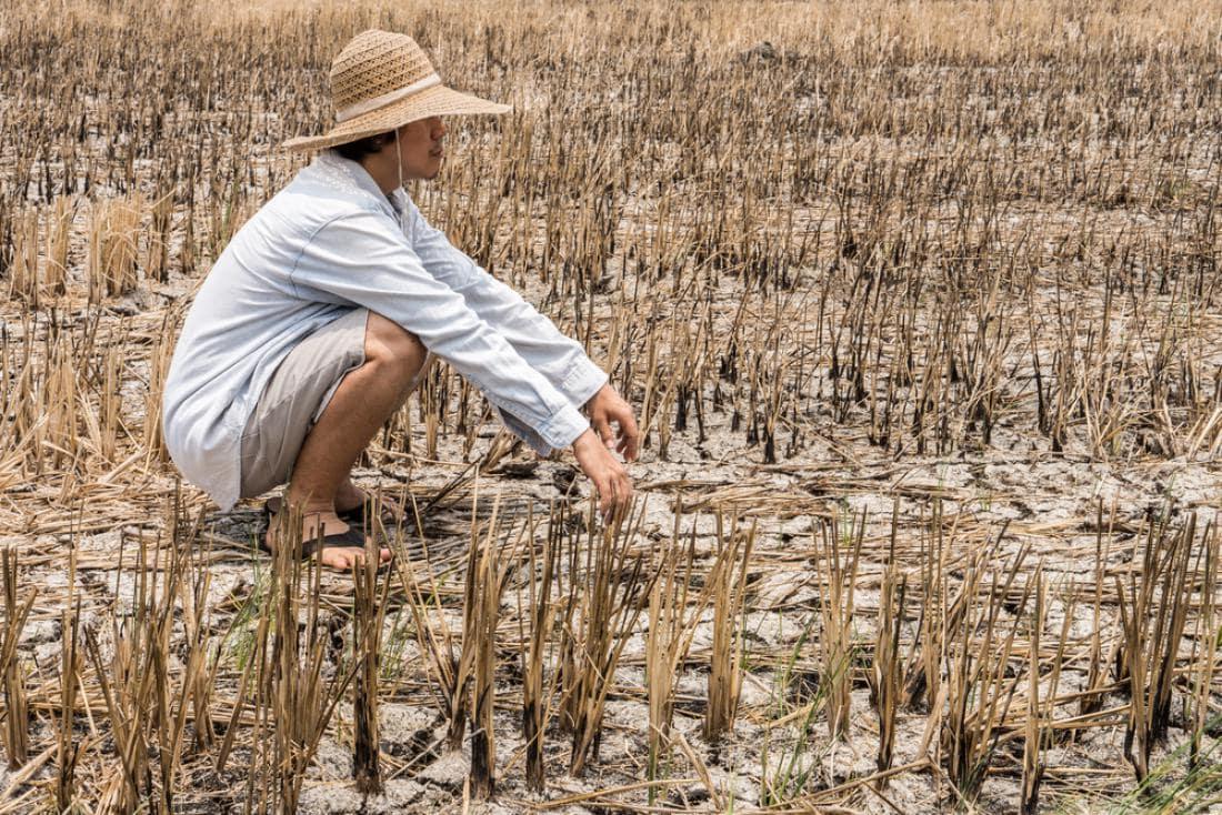Vse manj pšenice, riža in koruze?
