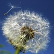 Regratova semena. Vir Pixabay